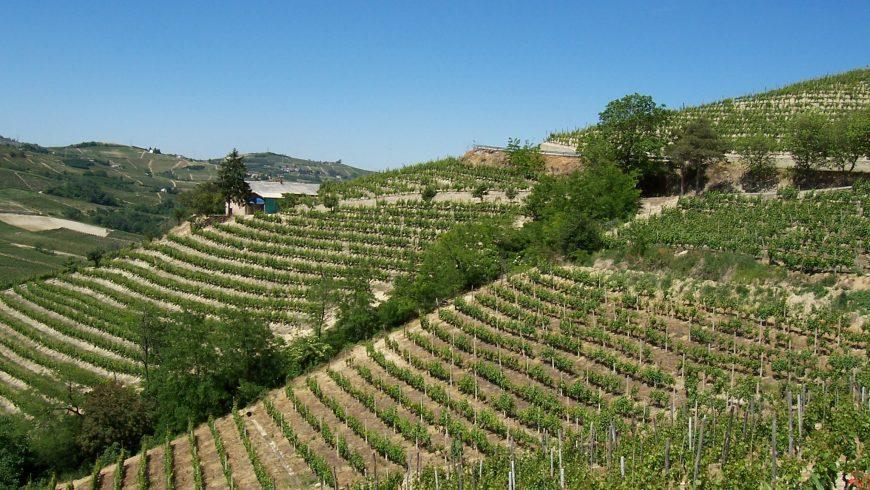 """""""Albarossa"""" un vitigno autoctono tutto Piemontese!"""
